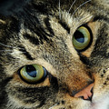 Maine Coon Cat by Evan Sharboneau