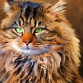 Maine Coon Cat by Jai Johnson