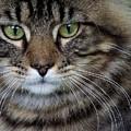 Maine Coon Cat Portrait by Jai Johnson