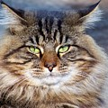 Maine Coon I by Jai Johnson
