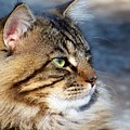 Maine Coon II by Jai Johnson
