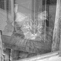 Maine Coon In Window by Michael Munster