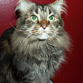 Maine Coon Portrait by Michael Munster
