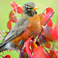 Maine Fall Robin by Sheila Price