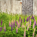 Maine Lupines And Weathered Cedar Shakes by John Vose
