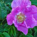 Maine Rose by Brenda Burns