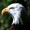 Majestic Bald Eagle by Nick Gustafson