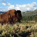 Majestic Bison by Michelle Fairchild
