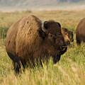 Majestic Bison by Teresa Zieba