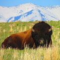 Majestic Buffalo  by Carol Dyer