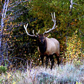 Majestic Bull Elk Survivor In Colorado  by Dale Jackson
