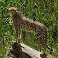 Majestic Cheetah by Sandra Cockayne ADPS