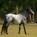 Majestic Horse by Beverly Cummiskey