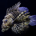 Majestic Lionfish by Debi Dalio