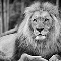 Majestic Male Lion Black And White Photo by Carsten Reisinger