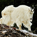 Majestic Mountain Goat by Greg Norrell