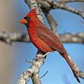 Majestic Mr. Redbird by Bonnie Barry