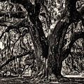 Majestic Oak Bw by Heather Applegate