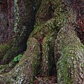 Majestic Tree Trunk by Richard Rizzo