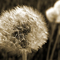 Make-a-wish Dandelion Sepia by David T Wilkinson