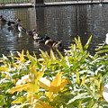 All My Ducks In A Row by LKB Art and Photography
