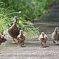 Make Way For Ducklings by Cathy Fitzgerald