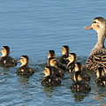Make Way For Ducklings by T Guy Spencer