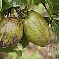 Malabar Chestnuts by Inga Spence