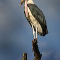Malabu Stork  by Joseph G Holland
