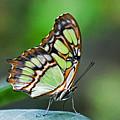 Malachite Butterfly by Cheryl Cencich
