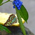 Malachite Butterfly by Darla Bruno