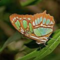Malachite Butterfly by David Freuthal