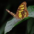 Malachite Butterfly by Ronda Ryan