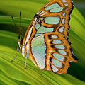 Malachite Butterfly (siproeta Stelenes) On Rhapis Palm Leaves (rhapis Excelsa) by Darrell Gulin