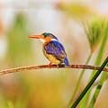 Malachite Kingfisher Hunting by Kay Brewer