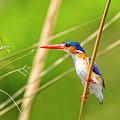 Malachite Kingfisher by Kay Brewer