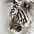 Malayan Tiger by Elaine Malott