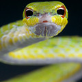 Malayan Vine Snake by Reptiles4all