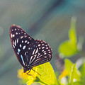 Malaysian Butterfly by Adrian O Brien