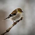 Male American Golden Finch by Douglas Barnett
