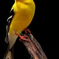 Male American Goldfinch by Paul Mays