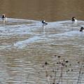 Male And Female Bufflehead Ducks  by Ruth Housley