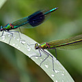 Male And Female Damsel Fly by Pierre Leclerc Photography