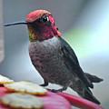 Male Anna's Hummingbird On Feeder Perch by Jay Milo