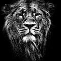 Male Asiatic Lion by Meirion Matthias