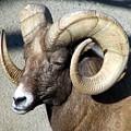 Male Bighorn Sheep Ram by Rose Santuci-Sofranko