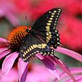Male Black Swallowtail Butterfly On Echinacea Plant by Karen Adams