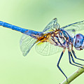 Male Blue Dasher Dragonfly by Bonnie Barry