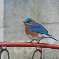 Male Bluebird Perched On Old Basketball Goal 011020164594 by WildBird Photographs