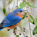Male Bluebird Swallowing Berry 011020164717 by WildBird Photographs